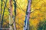 Paper Birch Original Painting SOLD