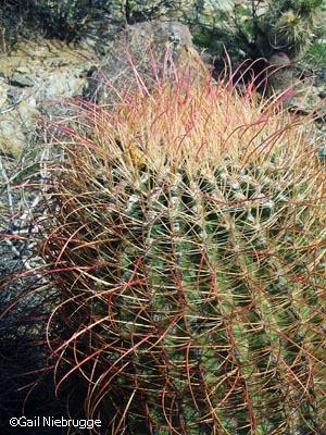 Barrelcactus1.jpg