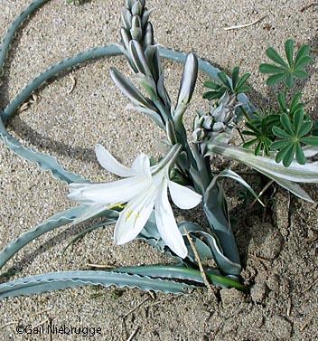 Desertlily.jpg
