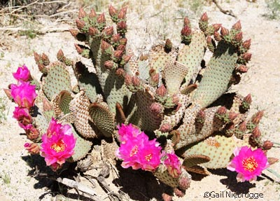 Beavertailcactusbloom1.jpg