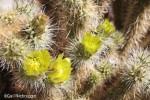 Cholla Cactus Flowers