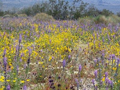 Desertwildflowers.jpg