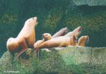 "Buy Original Painting ""Acappella""- Sea Lions"