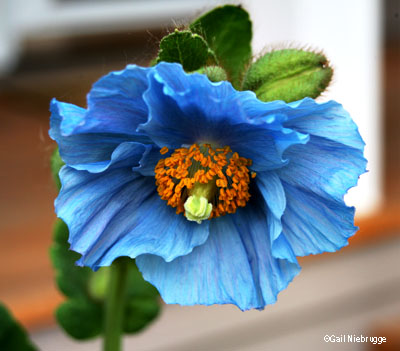 Himalayan blue poppy blooms mightylinksfo