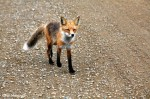 Red Fox Greet Artist on the Road