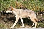 Wolf Stalks Artist in Denali