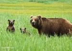 Springtime; Cubs and Mating Bears