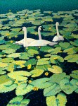 """Pond Lily Swans"" Mini Print – Sold Out"