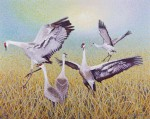 Buy Sandhill Crane – Wing Dancing 39″ x 49″ Art Print