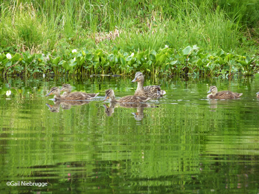 Mallard Ducklings Grow...