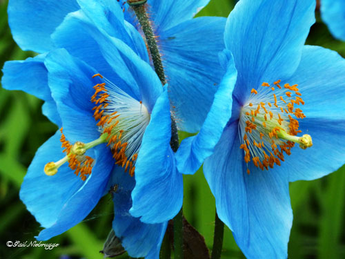 Blue poppy profusion himalayan mightylinksfo