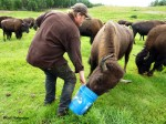 Little Pitchfork Ranch Raise Bison in Alaska!