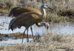 Sandhill Cranes in Kenai, Alaska