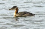 Grebe in Winter Plumage