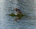 Grebe On Egg