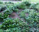 Trimming Perennials