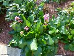 Bergenia Blooms