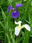 Iris; Blue and White