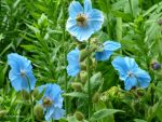 Blue Poppies Bloom