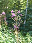 Fireweed Topped