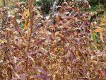 Fireweed Fall
