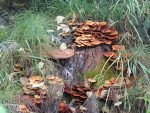 Fungus on Stump
