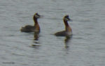 The Grebes are back!